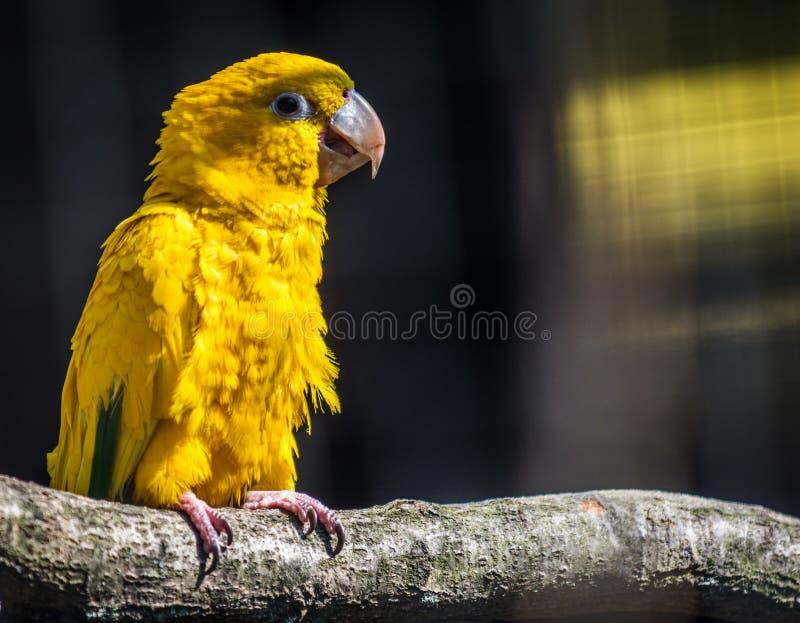 Periquito dourado do papagaio foto de stock royalty free