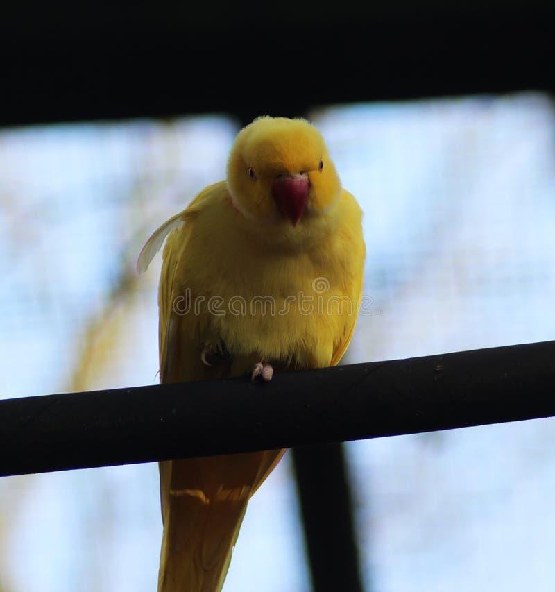 Periquito rodeado amarelo de Rosa imagens de stock