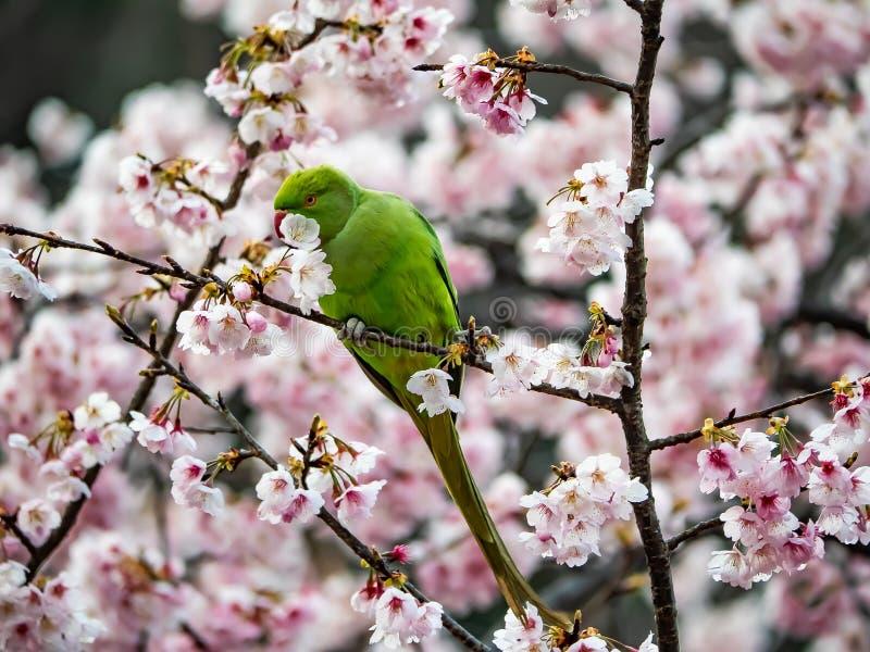 Periquito rodeado de Rosa na árvore japonesa 9 de sakura fotografia de stock