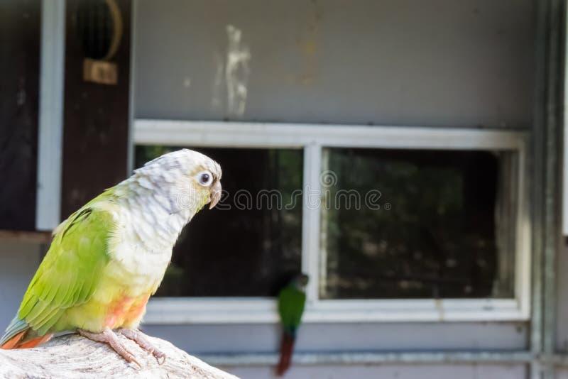 Periquito verde juvenil do mordente no close up, ainda branco colorido foto de stock royalty free