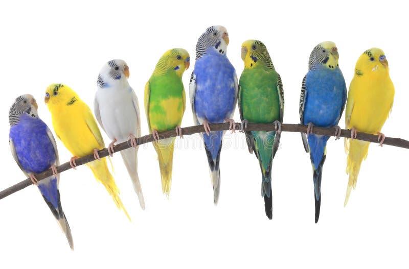 Periquitos del australiano de los periquitos ilustración del vector