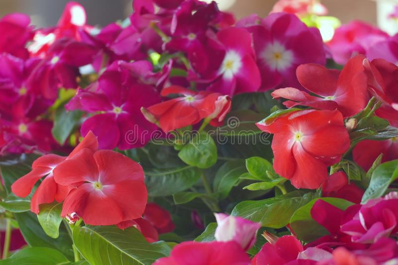 The periwinkle is a beautiful plant with delicate flowers. The periwinkle is a beautiful plant with very delicate flowers, eastern, pozega, vinca, europe, ovcar stock images