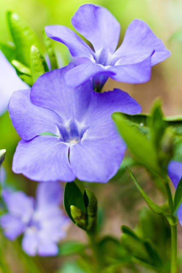 Periwinkle blue flowers Vinca major blooming in spring. Vinca minor lesser periwinkle flowers, common periwinkle in bloom, ornamental creeping flowers, Botanical royalty free stock images