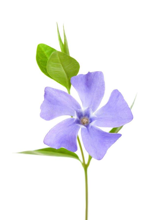 Periwinkle flower isolated on white background.  stock photo