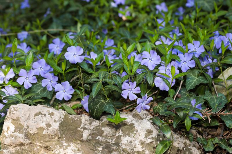 Periwinkle  flowers background spring time. Image stock photo