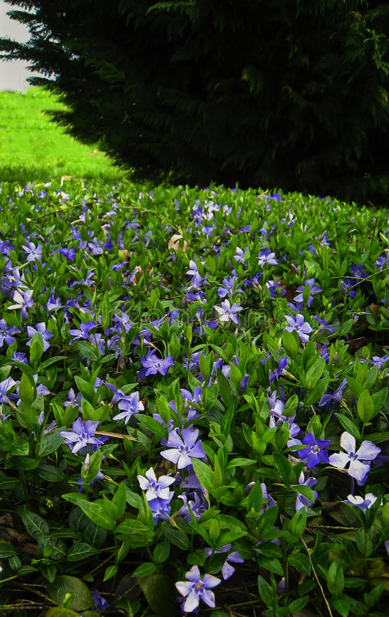 Periwinkle flowers in bloom on creeping myrtle groundcover stock creeping myrtle is a perennial groundcover proving delightful perwinkle blue flowers mightylinksfo