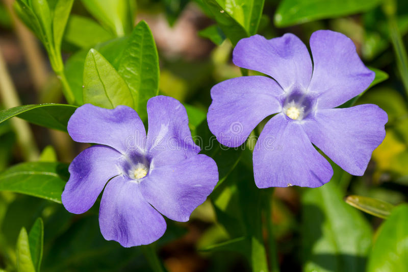 Download Periwinkle flowers stock photo. Image of flower, spring - 40378634