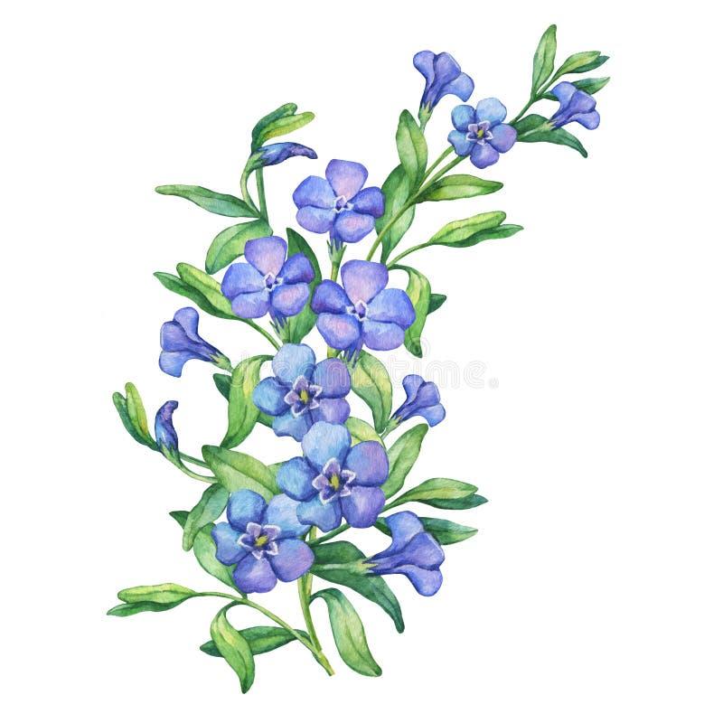 periwinkle Illustration von wilden Blumen des ersten Frühlinges der Zusammensetzung - VÃnca-mÃnor lizenzfreie abbildung