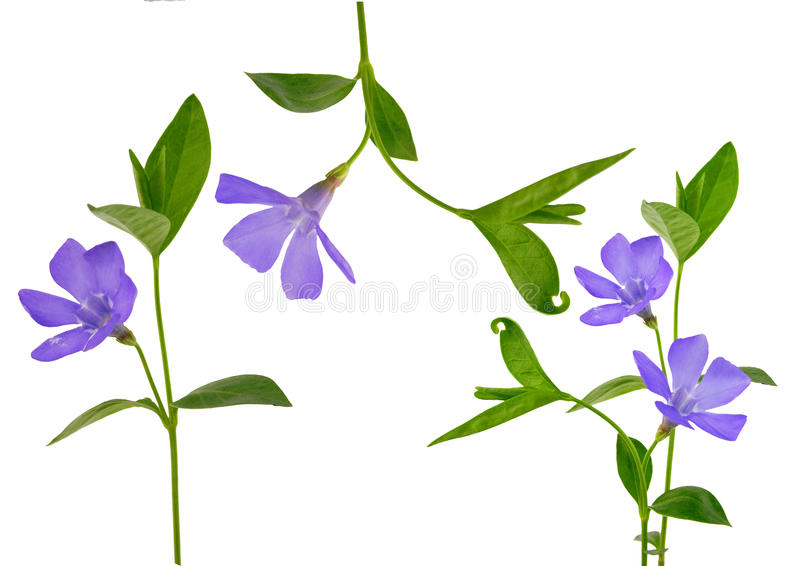 Download Periwinkle isolated stock image. Image of isolated, myrtle - 11361417