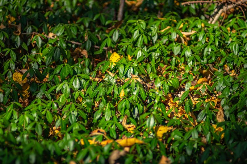Periwinkle leaves in the forest. Periwinkle leaves in forest closeup stock images