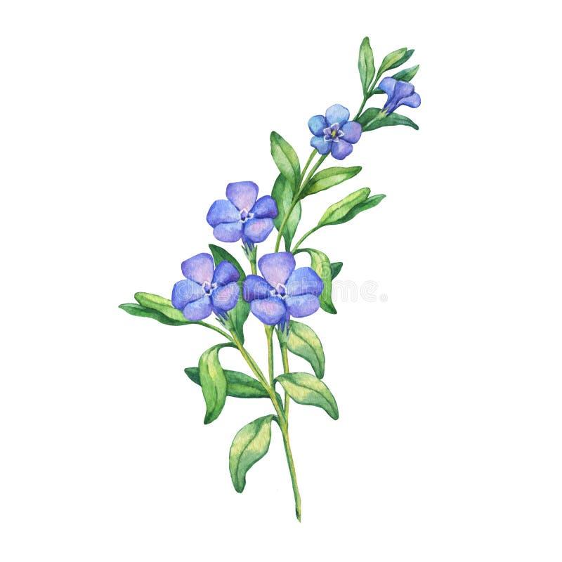 periwinkle Niederlassung des ersten Frühlinges blüht - VÃnca-mÃnor lizenzfreie abbildung