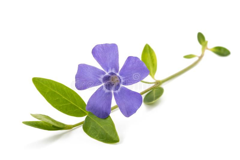 Periwinkle sprig with flower. Periwinkle branch with flower isolated on white royalty free stock image