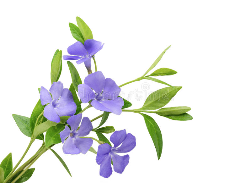 Periwinkle, Vinca minor isolated on white. Periwinkle, Vinca minor isolated on a white royalty free stock image