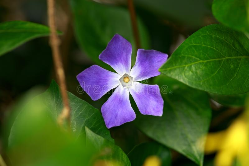 Periwinkle, Vinca minor, plant with flowers inspring garden.  royalty free stock image
