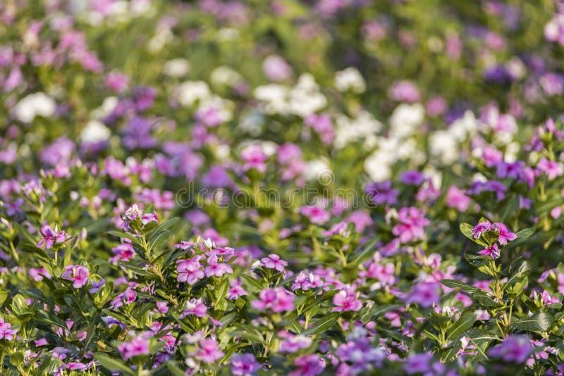 PeriwinkleCatharanthus Roseus, который Мадагаскара выросли как орнаментальный цветок принятый в сад в Индии стоковые изображения