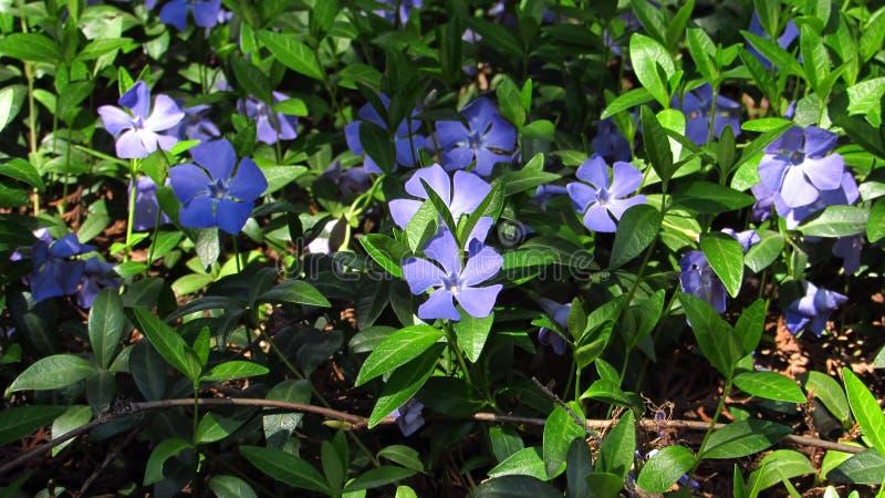 Periwinkles, blue flowers stock image