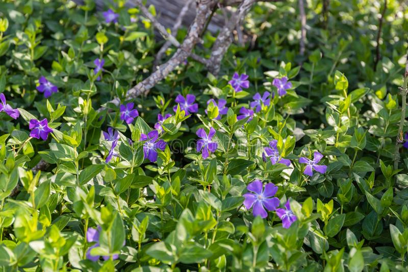 Periwinkles under the oak trees royalty free stock photos
