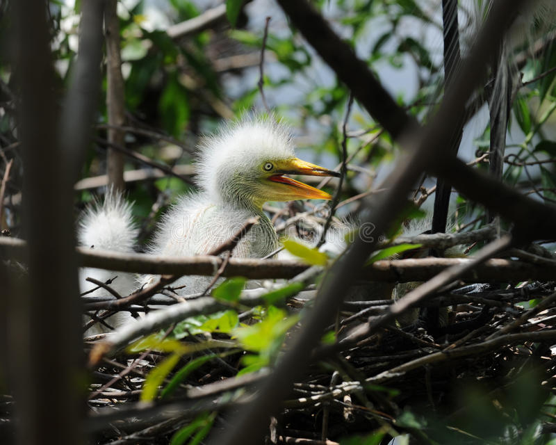 Download Perky Egret Chick stock photo. Image of outside, animal - 19687956