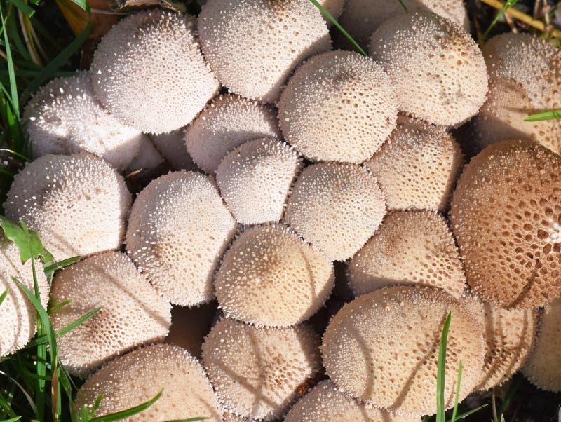 Perlatum común del Lycoperdon de la seta del puffball foto de archivo libre de regalías