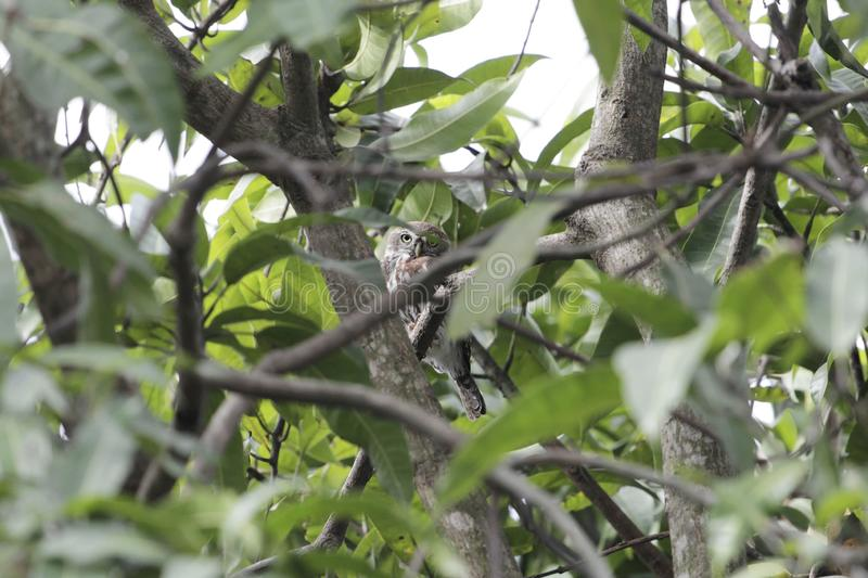 perlatum Perle-repéré de Glaucidium de jeune hibou caché dans un arbre photographie stock