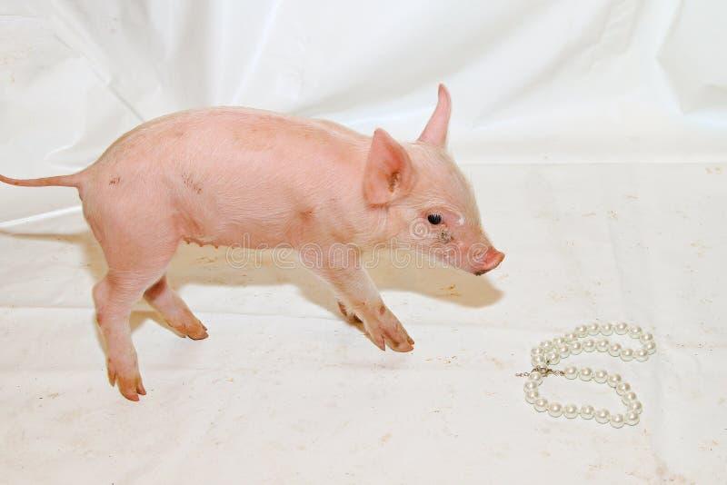 Perles avant des porcs photos libres de droits