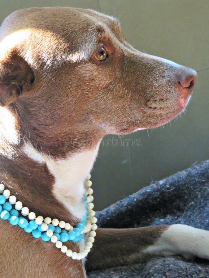 Perles de port de joli chien de pitador Fille avec le collier de perle image libre de droits