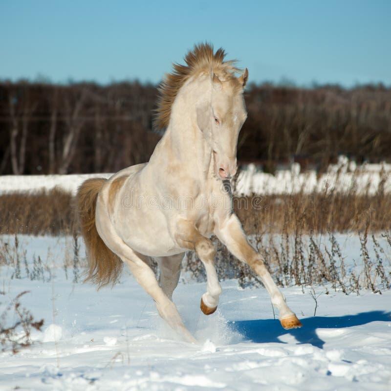 Perlino在雪的akhal-teke公马 库存图片
