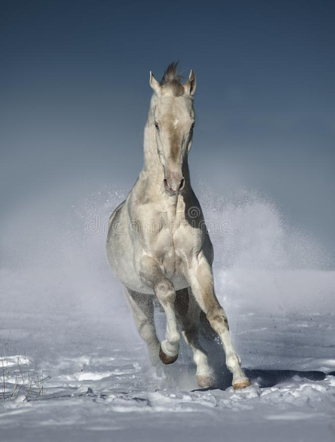Perlino akhal-teke horse runs free in winter field. The perlino akhal-teke horse runs free in the winter field stock images