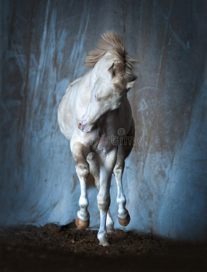 Perlino akhal-teke horse trotting indoors stock image