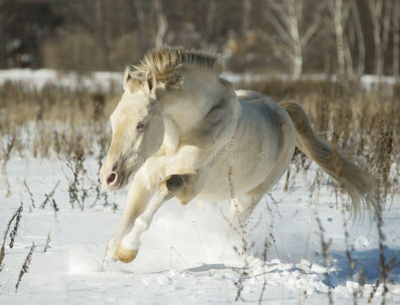 Perlino akhal-teke ogier w śniegu fotografia royalty free