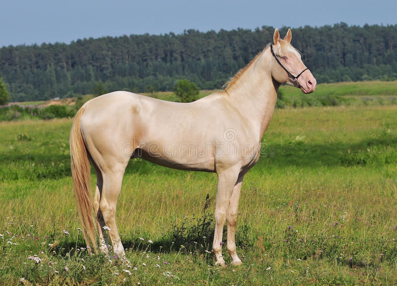 Perlino horse royalty free stock images