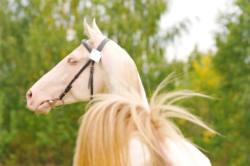 Perlino horse royalty free stock photo