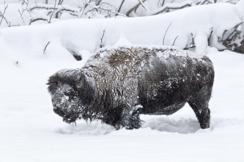 Permafrost bizon w Yellowstone parku narodowym fotografia stock