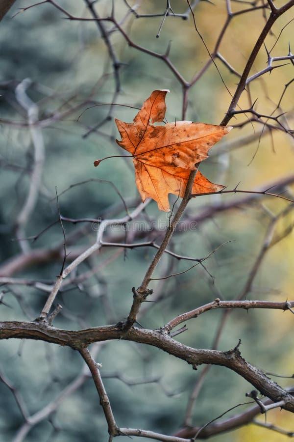 Permesso di autunno dorato che appende sui rami nudi dell'albero fotografia stock libera da diritti
