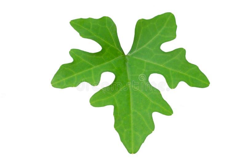 Permesso di verde di Ivy Gourd isolato su fondo bianco fotografie stock