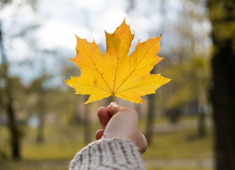 Permesso giallo dell'acero a disposizione su fondo vago, concetto all'aperto di autunno fotografia stock libera da diritti