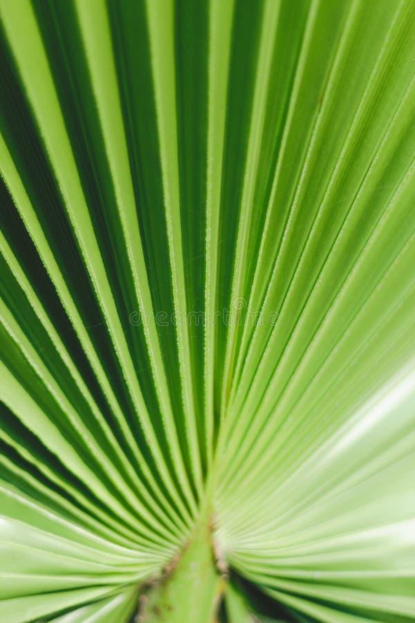 Permesso tropicale della palma Pendenza di colore Colpo verticale Bello estratto della natura Fogli a strisce fotografia stock libera da diritti
