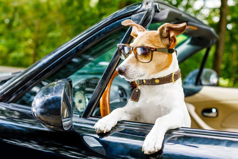 Permis de conduire de chien conduisant une voiture photographie stock