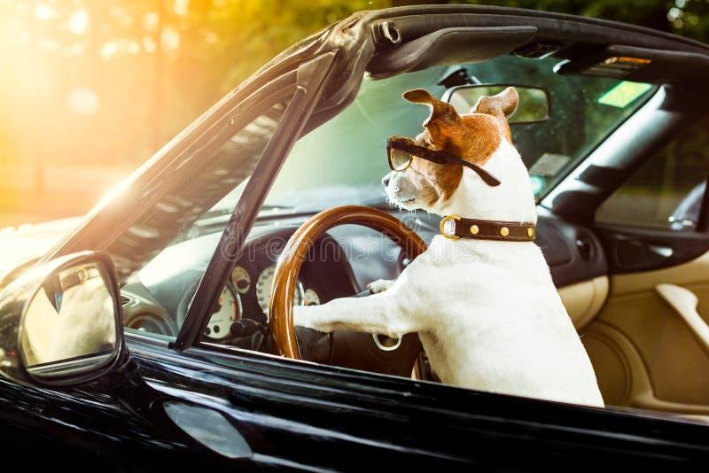 Permis de conduire de chien conduisant une voiture image libre de droits
