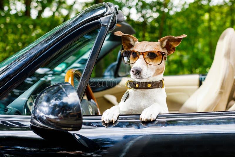 Permis de conduire de chien conduisant une voiture photos libres de droits