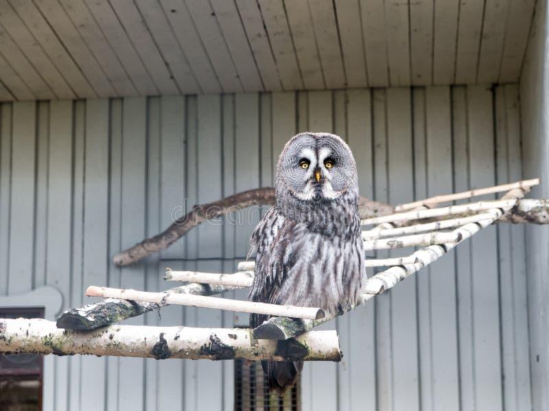 Permita por favor que voe Grande coruja cinzenta com plumagem enigmática Pássaro bonito da coruja com o grandes olhos e bico do f imagens de stock