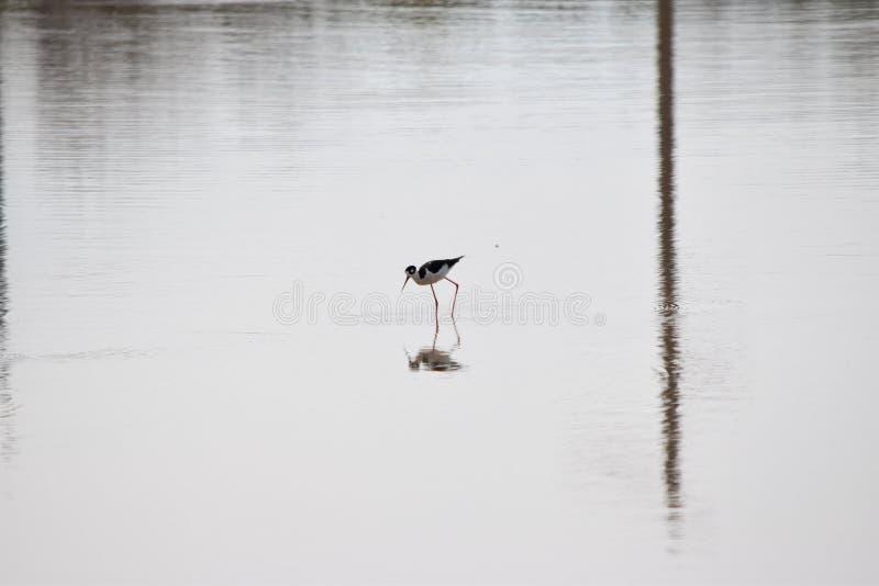 pernas de pau Preto-necked em um lago foto de stock