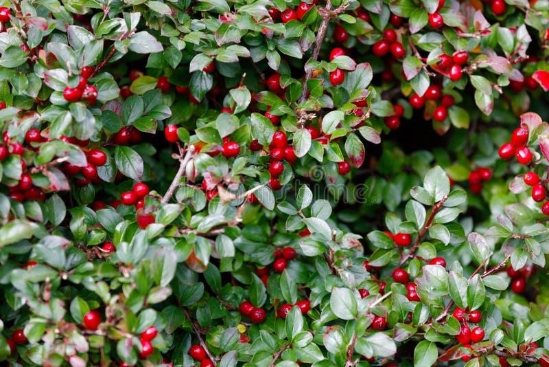 Pernettya di rosso delle bacche di autunno immagini stock libere da diritti