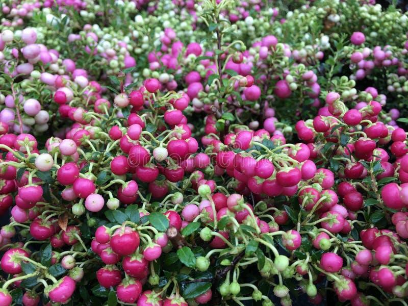 Pernettya Mucronata con le bacche e le foglie verdi rosa rossastre fotografia stock libera da diritti
