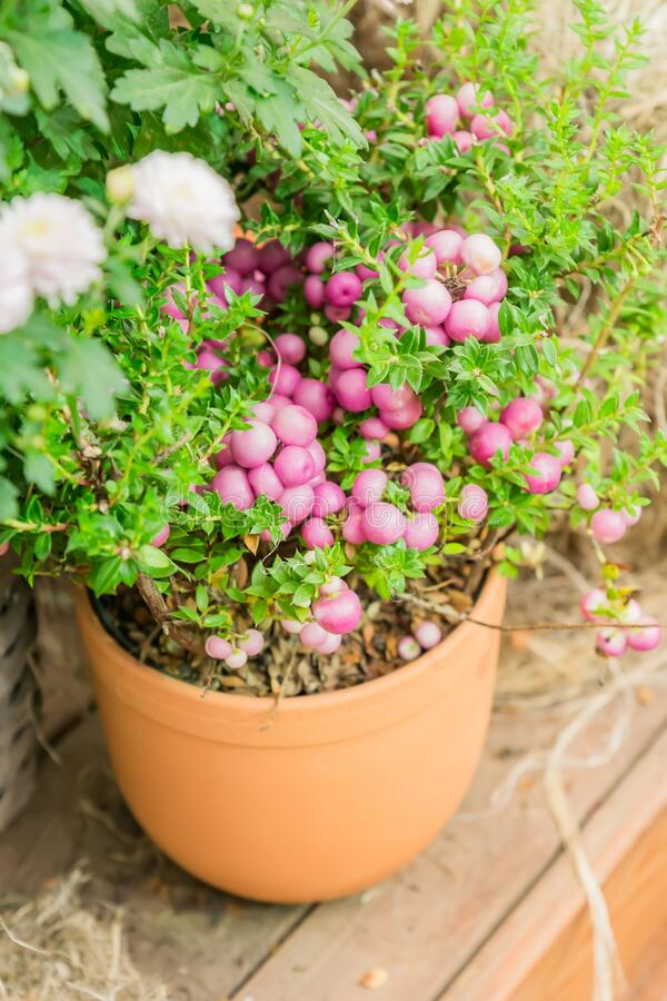 Pernettya mucronata evergreen shrub with pink berries. Autumn plant in clay flower pot stock photography