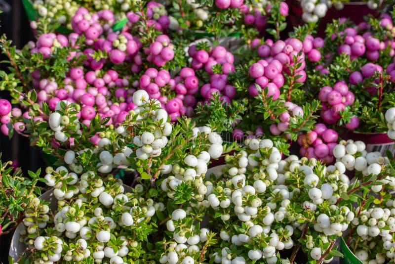 Pernettya spiky berry frukt vit rosa lila Harvest Gaultheria mucronata, höst, bakgrundspapper royaltyfria foton