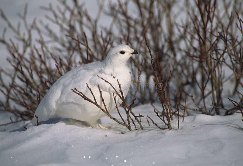 Pernice bianca in salici fotografia stock libera da diritti