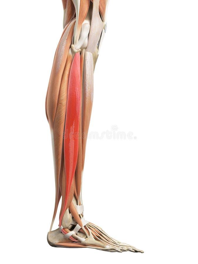 The peroneus longus stock illustration. Illustration of anatomical ...
