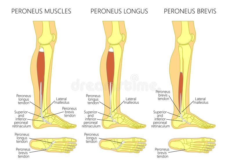 Peroneus Longus Muscle Stock Vector Illustration Of Podiatry 97669830