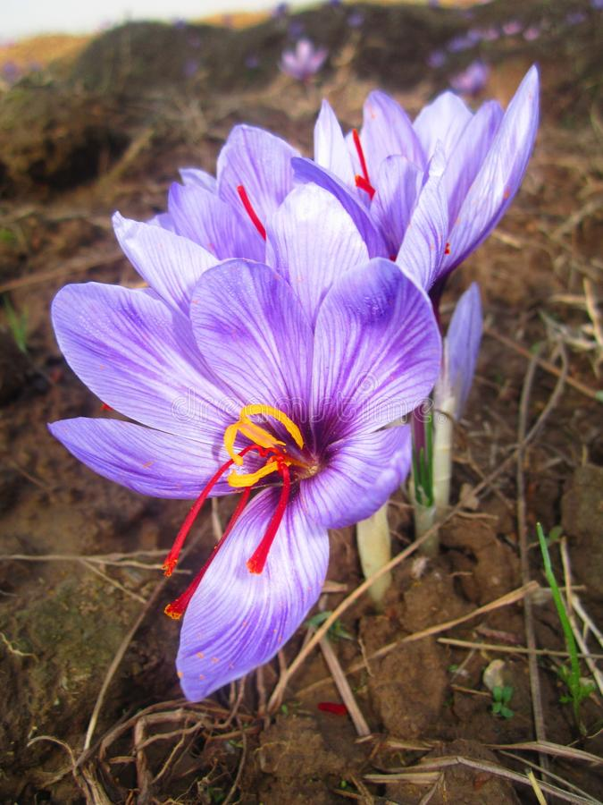 Perpel blomma arkivbilder